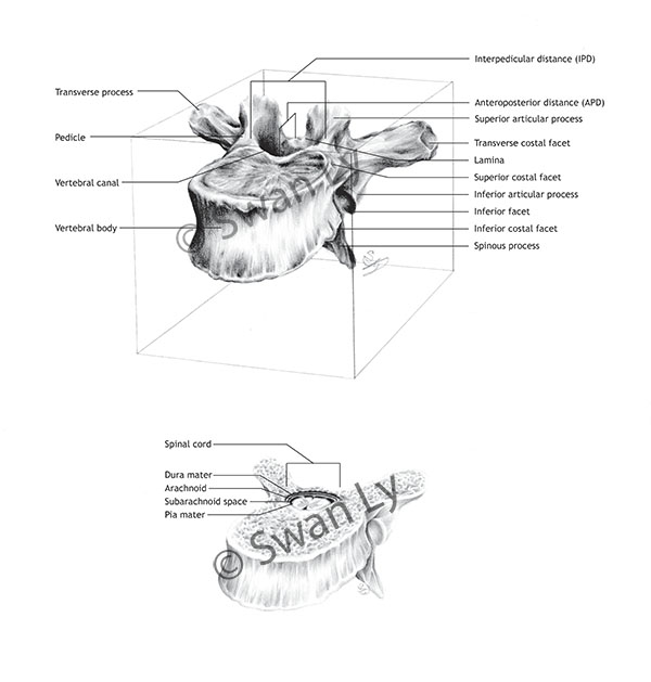 T6 Vertebrae Box And Transverse By Renu K On Deviantart