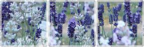 Lavender Divider (Blue)