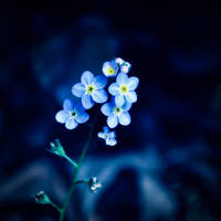 Forget Me Not by DismayedSense