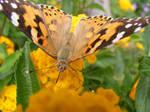 Butterfly attenae