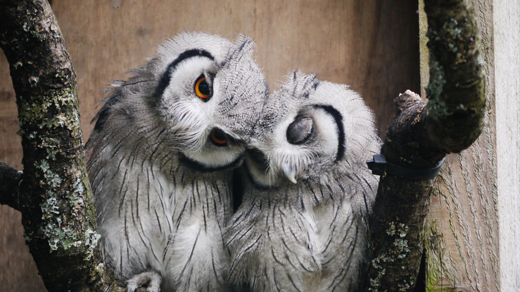 Owl Love. by dann-e
