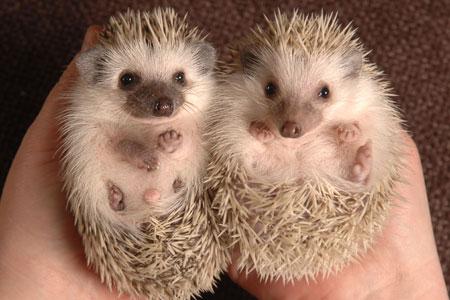 Hedgehog2 by calvincrazy22