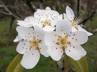 Flor de peral 1 by amayuscula
