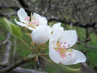 Flor de peral 2 by amayuscula
