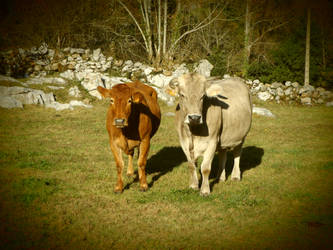 Dos vacas by amayuscula