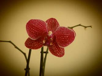Orquidea 1 by amayuscula