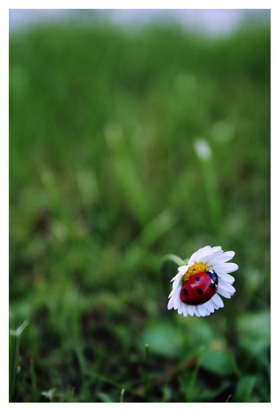 Ladybug by rivieh