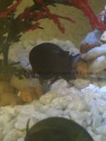 Black Mystery Snail by PunkyPug89