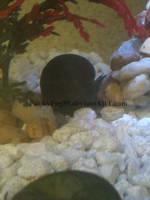 Black Mystery Snail2 by PunkyPug89