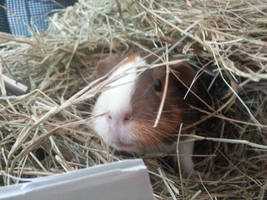 Hay Pile Piggy by PunkyPug89