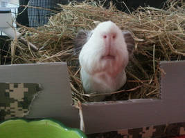 Hay Pile Piggy - 2 by PunkyPug89