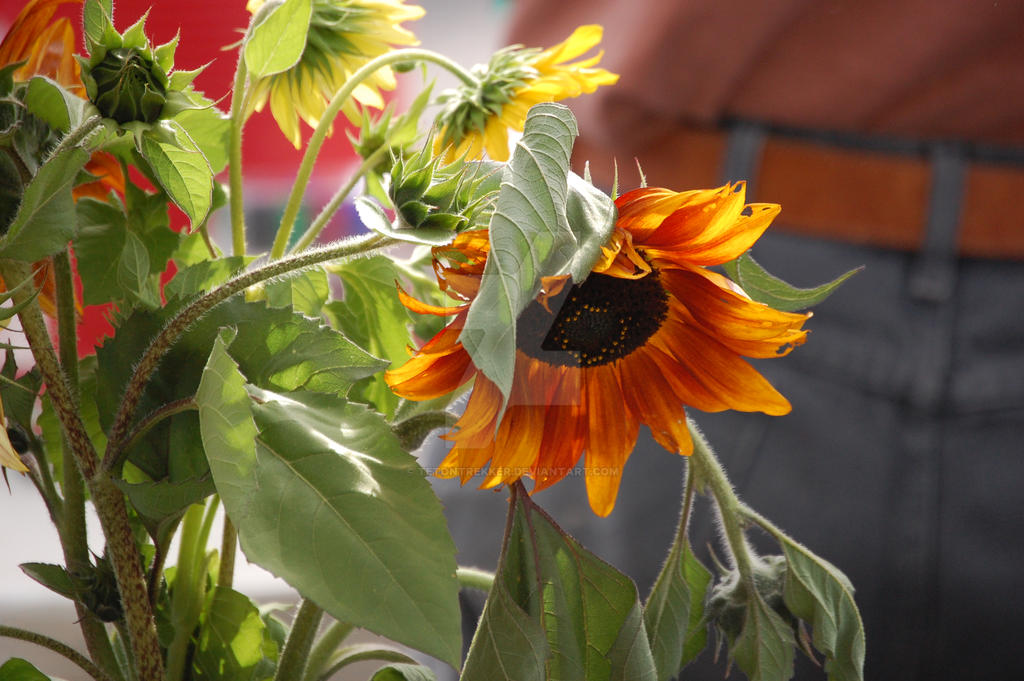 Farmers Market Sunflower by tetontrekker