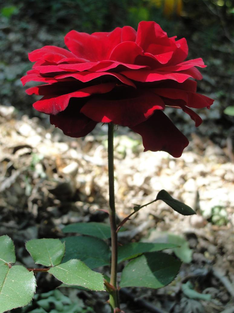 Camilla's Rose by KaoriSilverMoon