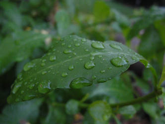 Raindrops on [Leaves]