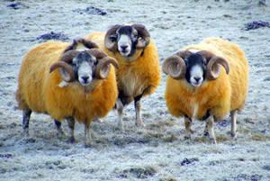 Yellow Rams by printsILike
