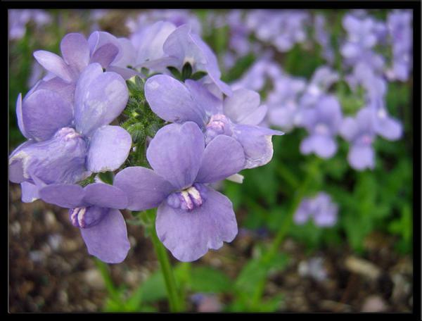 Violets by Nami-Satu