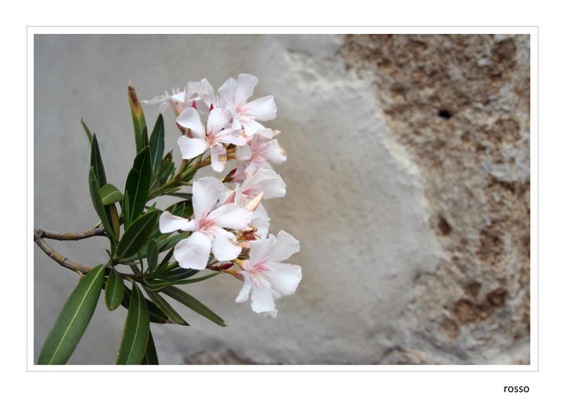 Weisser Oleander by redrossorouge