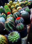 cactus by putricahaya