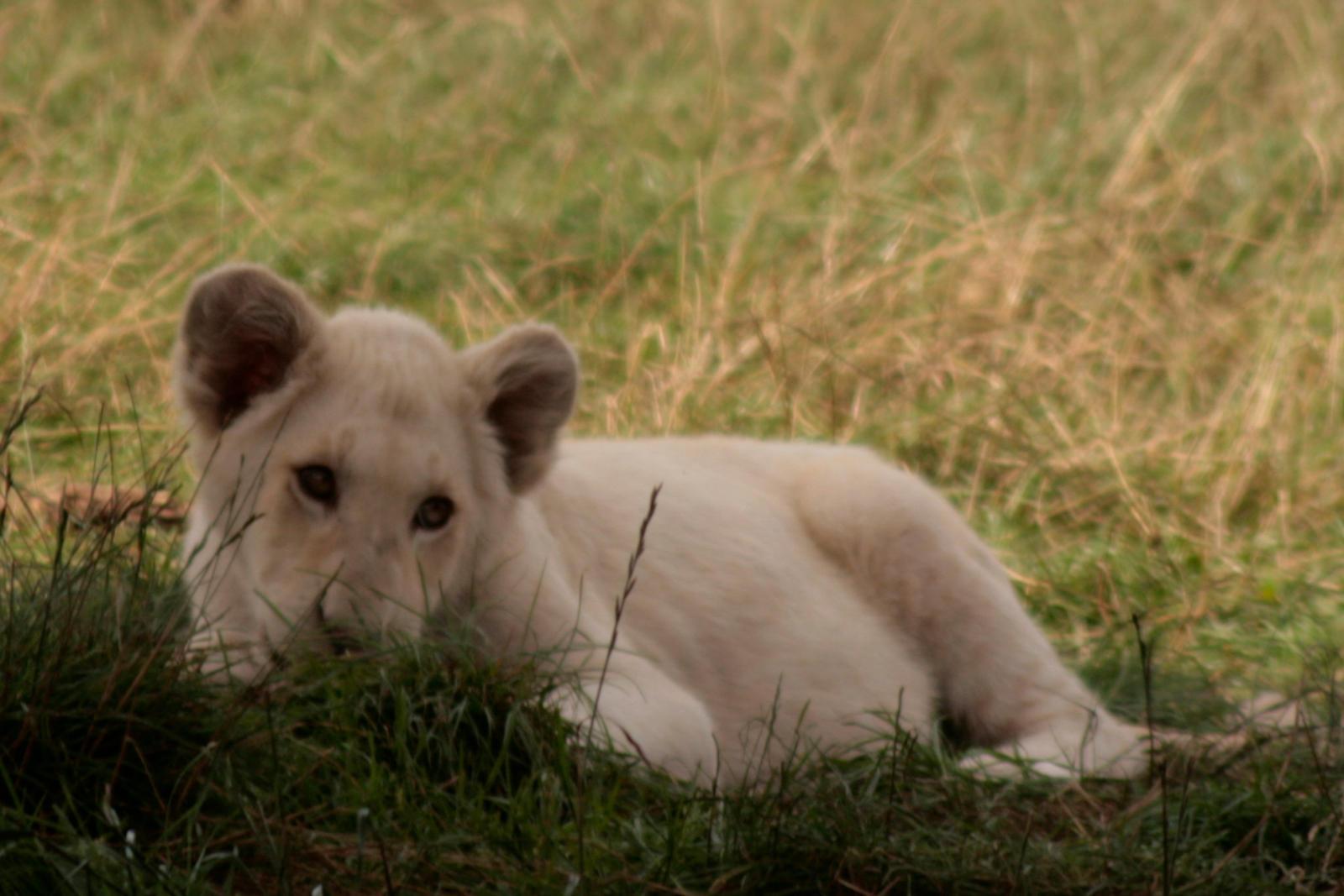 Cute baby white lion