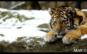 Tiger cub 6152 by MASOCHO