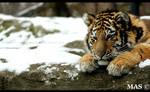 Tiger cub 6152