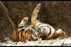 Siberian Tiger 6656 by MASOCHO