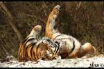 Siberian Tiger 6656