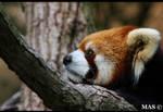 Red Panda_3591