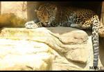 Jaguar_0401
