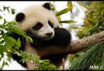Baby Panda_8508 by MASOCHO