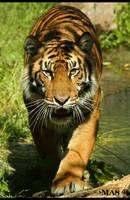 Sumatran Tiger_1928 by MASOCHO