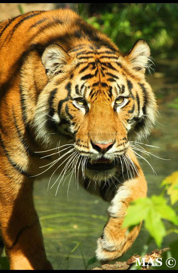 Sumatran Tiger_1930 by MASOCHO