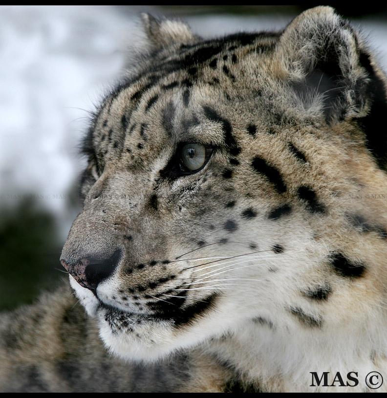 Snow Leopard_7045 by MASOCHO
