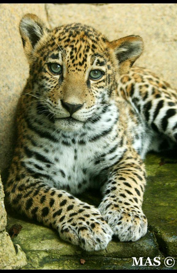 Jaguar Cub_2622 by MASOCHO