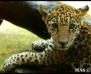Jaguar Cub_2816 by MASOCHO
