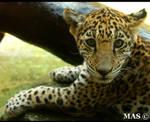 Jaguar Cub_2816