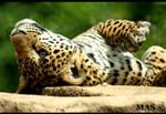 Jaguar Cub_2293