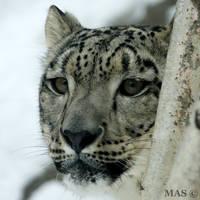 Snow Leopard by MASOCHO
