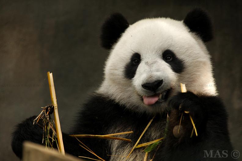 .:Panda:. by MASOCHO