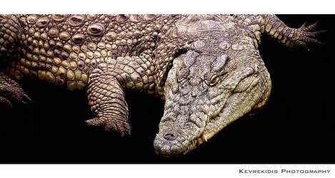 Crocodile by Kevrekidis