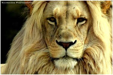 Lion by Kevrekidis