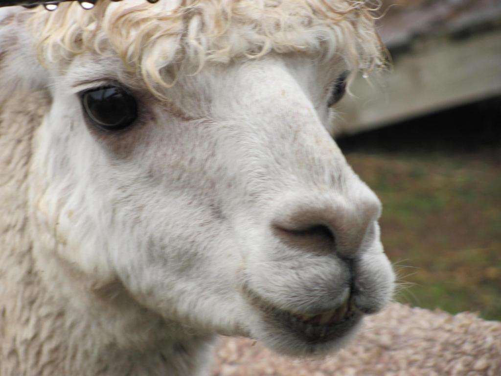 Llama by pipomonkeys