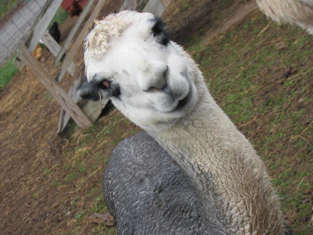 Llama Smile by pipomonkeys