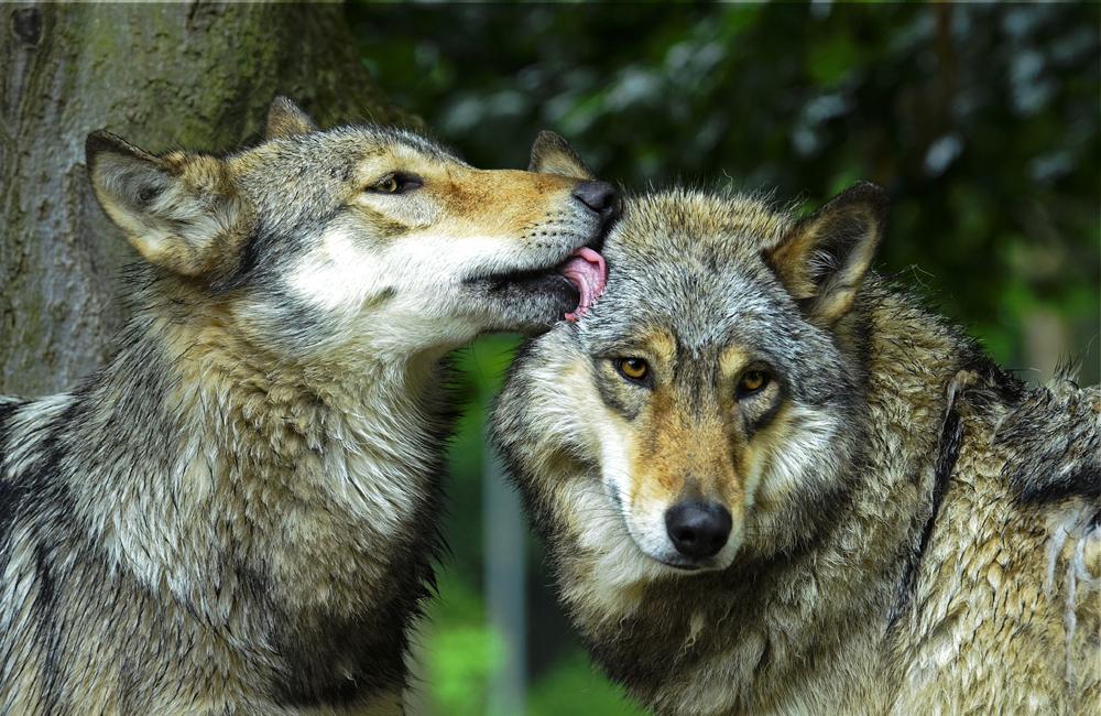 Springe - Wolf 02 by Shitani