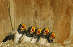 Singing swallows