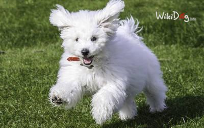 Sweet bichon by wikidog