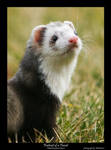 Portrait of a Ferret