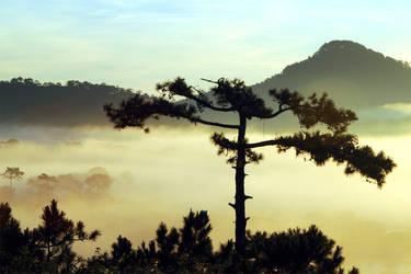 pine tree in the fog