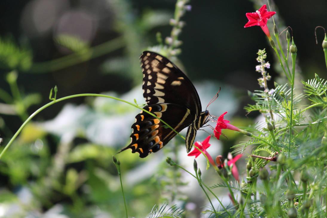 Black Swallowtail by Krichotomy