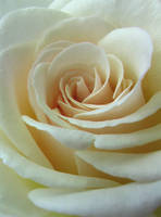 White Rose by ShinsetsuNeko